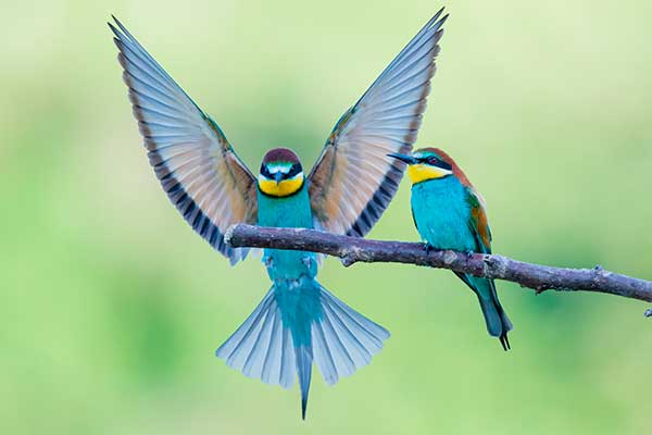 Aves que bailan, los espectáculos de la naturaleza